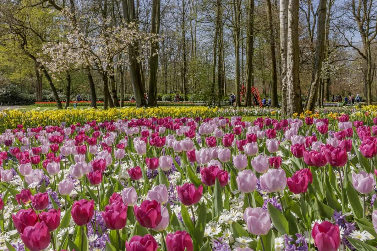 10 Different Ways To Visit Tulip Gardens In Bloom In Holland