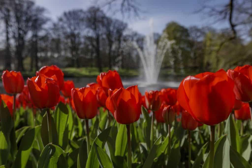 Tulips in bloom, Netherlands